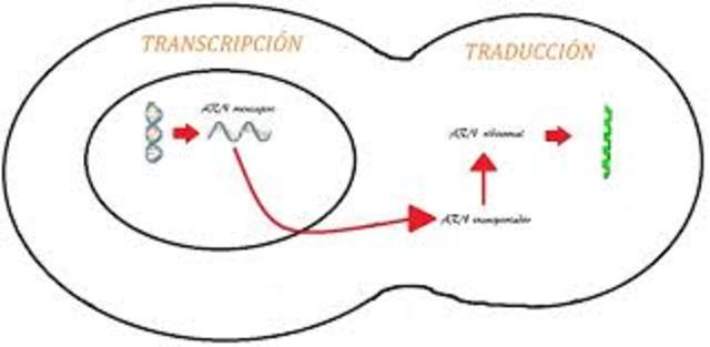 El ARNm y ribosomas como sintetizadores de proteinas