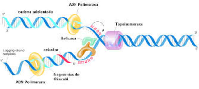 REPLICACION DEL ADN SEMICONSERVADORA