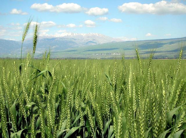 Disease Resistant Wheat Strains