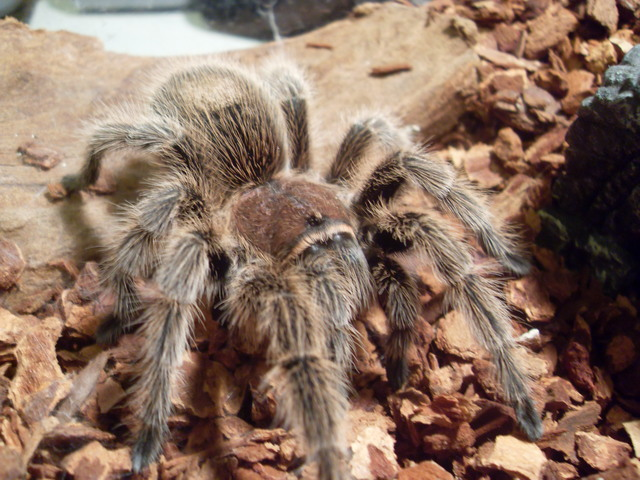 Bought a pet tarantula!!