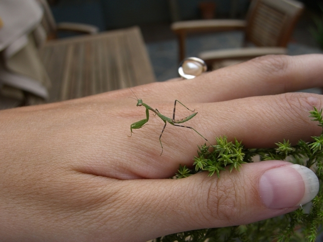 Got a baby praying mantis!!