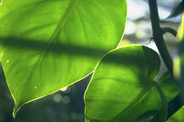 3. Sunlight strikes the surface of the leaf and its energy is trapped by the chlorophyll.
