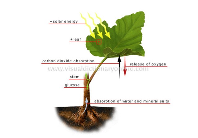 5. The hydrogen joins with the carbon dioxide to make food for the plant.