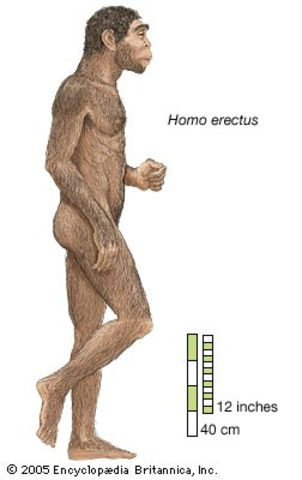 Homo erectus.Hace 1,5 millones de años.
