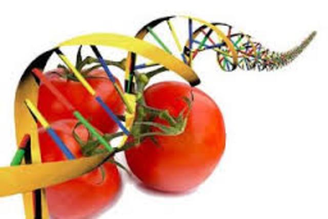 tomates trasgenitos