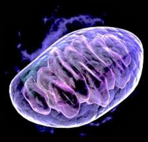 Las mitocondrias