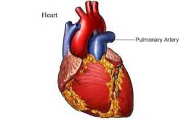 When Blood Flows Throughout The Heart timeline | Timetoast ...