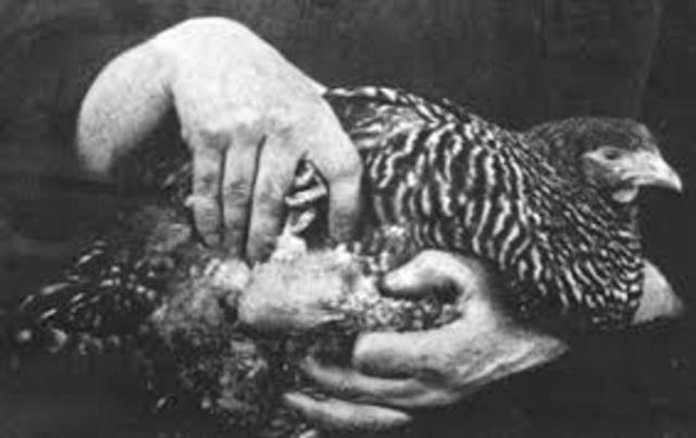 Un virus causa sarcoma a los pollos