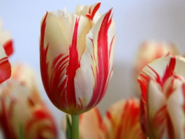 Tulipanes con Virus del quiebre de la coloración del Tulipán.