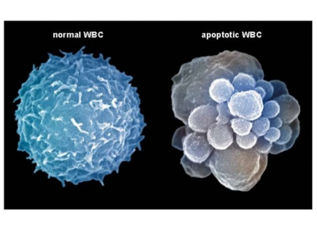 ¿proteinas anti apoptoticas?