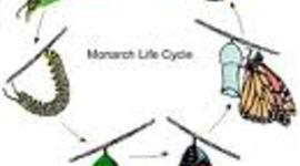A Life Cycle Of A Monarch Butterfly timeline