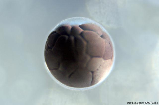 single frog egg