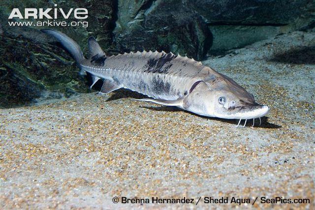 Sturgeon Species