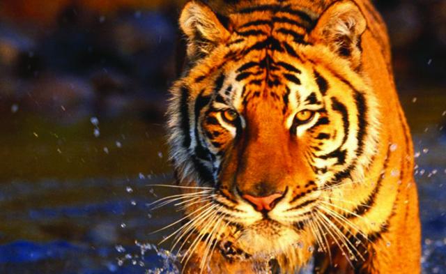 Aprendamos mas de los tigres