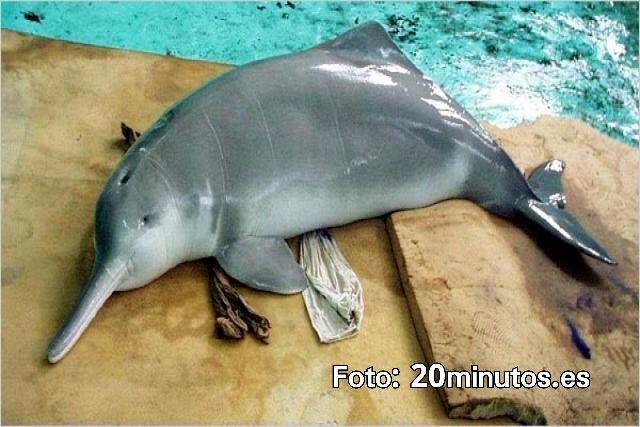Delfín del Río Chino