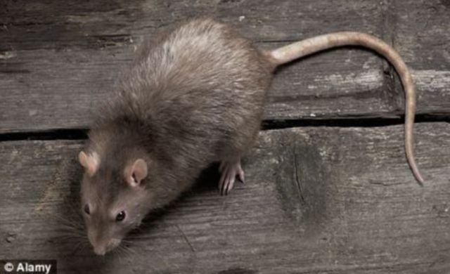 Rats show up in Attic of the S.A