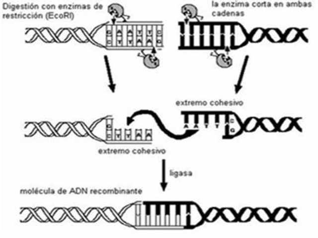 se descubren las enzimas de restriccion