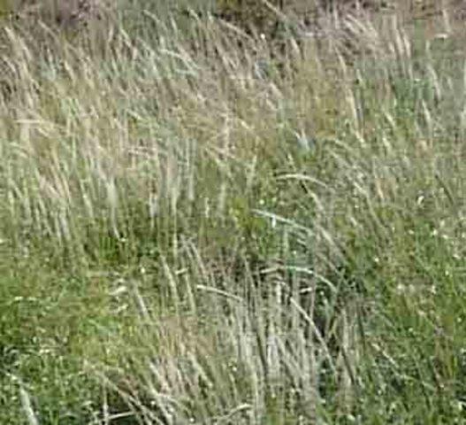 5:25AM Widespread Grasses