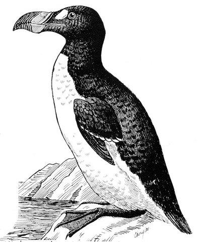 The wingless Razorbill
