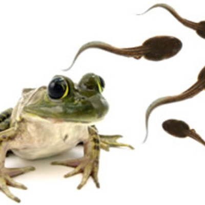 the life cycle of a frog timeline