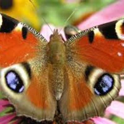 Farfalle! timeline