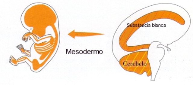 Mesodermo