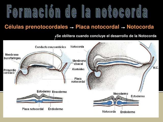 Células neurales precursoras