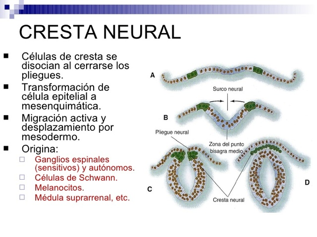 Cresta neural
