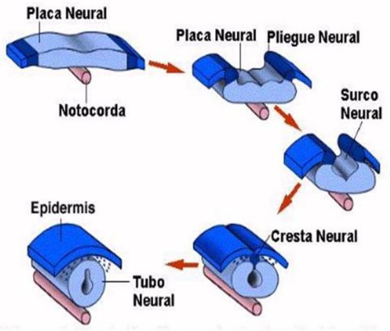 Pliegues neurales