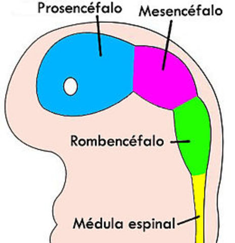 Prosencéfalo
