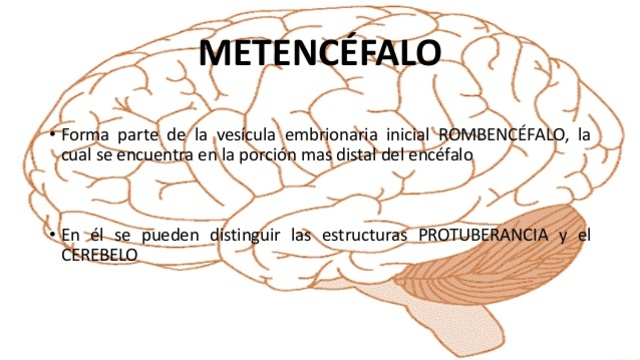 Metencéfalo