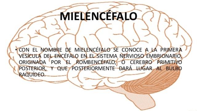 Mielencéfalo