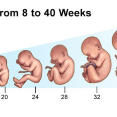 The growing Fetus timeline