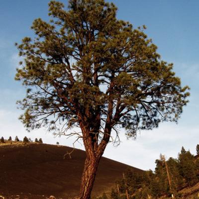 A Tree timeline