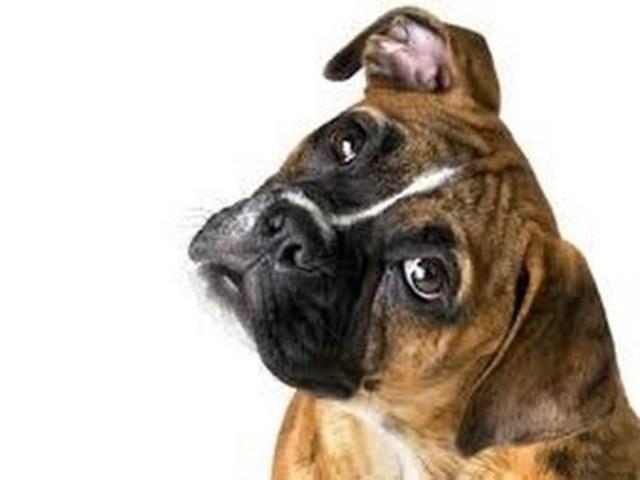 Genoma de un perro bóxer