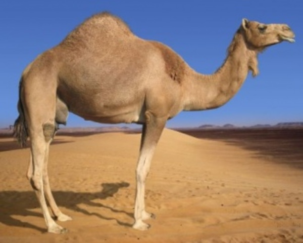Clon de camello
