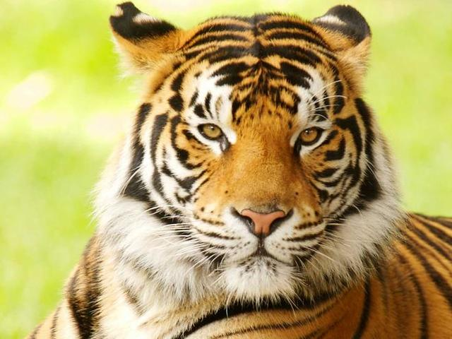 Modern Tigers: Begnal