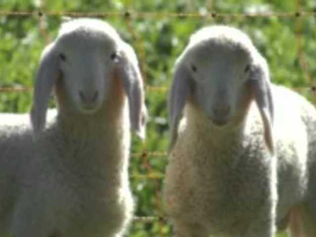 La oveja Dolly, el primer mamífero clonado con éxito a partir de una célula adulta, muere a los 6 años.
