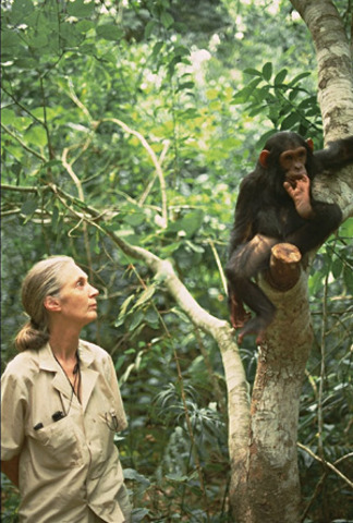 Jane Begins Studying Chimpanzees