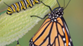 Life Cycle of the Monarch Butterfly timeline