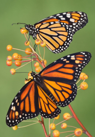 Monarch Butterfly Life Cycle Timeline