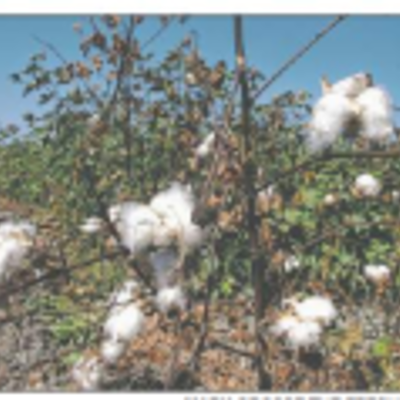 9/7/10 Cotton aims to be king again timeline