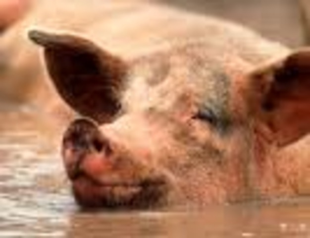 Pig 11