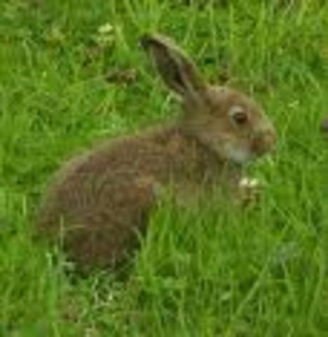 Rabbit   35