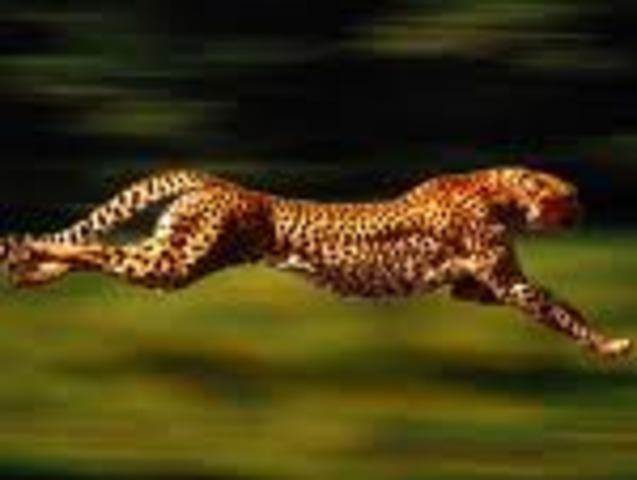Cheetah  70