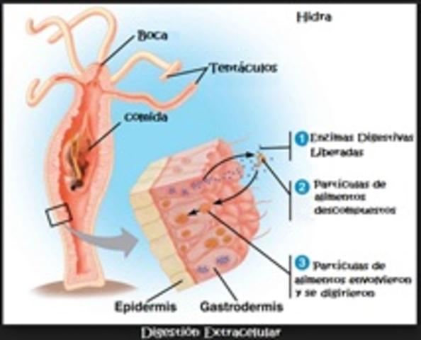 Evolución del sistema digestivo de los animales. Isabella Herrán ...