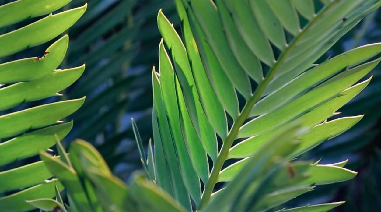 Cycad poaching   California Academy of Sciences thumbnail