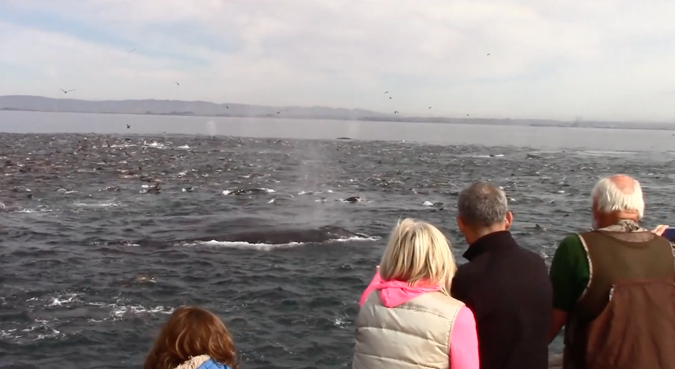 Science Today   Whale Feeding Frenzy   California Academy of Sciences thumbnail