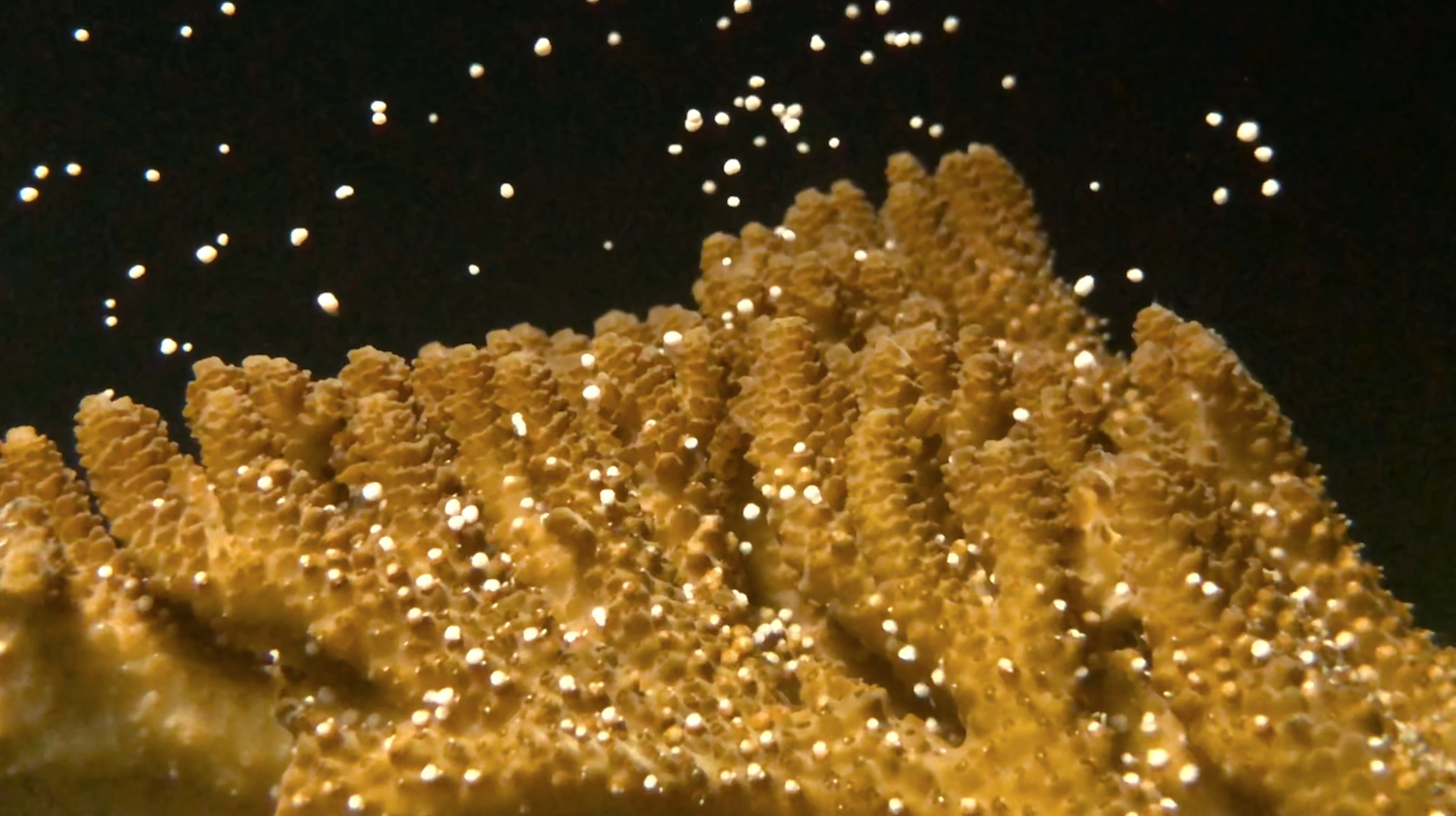 Beyond the Reef: Indoor Coral Spawning thumbnail