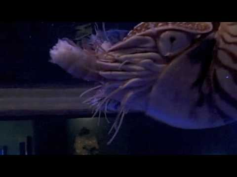 Behind the Scenes: Chambered Nautilus Feeding | California Academy of Sciences thumbnail